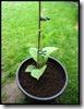 Kiwi verplant in 10L emmer