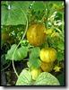 Komkommer 'True Lemon'