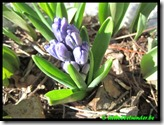 Hyacint in knop