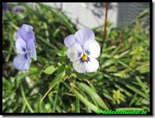 Klein viooltje