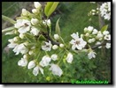 Nashi Njiseiki in bloem