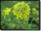 Mosterdzaad van vorig jaar in bloem