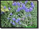 Blauwe druifjes voor de bijen