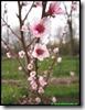 Perzik Sanguin de Savoie in bloem