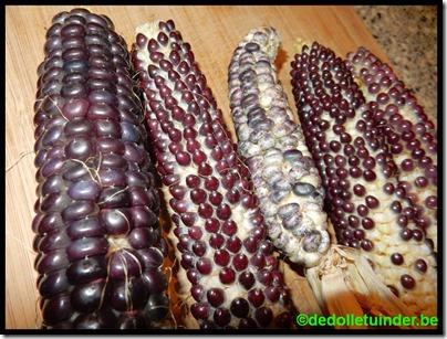 Verschillende soorten maïs