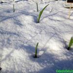 Knoflook in de winter