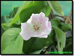 De bloem van de kwee
