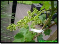Druiven in bloei