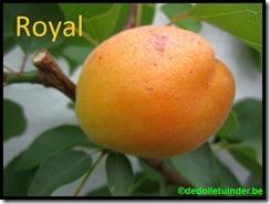 Abrikoos 'Royal'