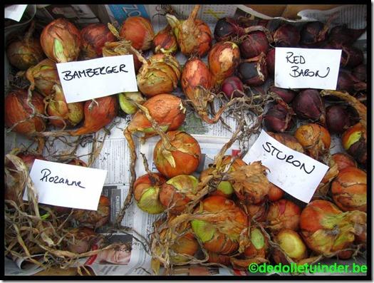 Uien oogst 2015