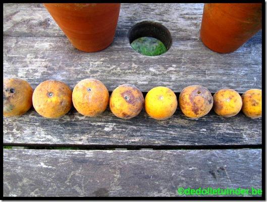 Poncirus vruchten